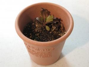 植え替え後のレタス